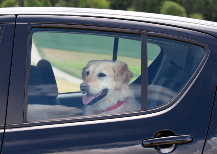 фото собаки в машине